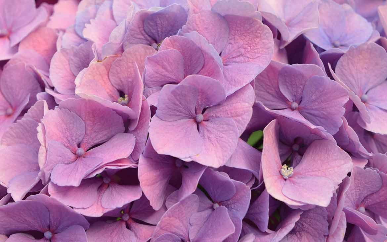 Come Coltivare le Ortensie: Coltivazione e Cura